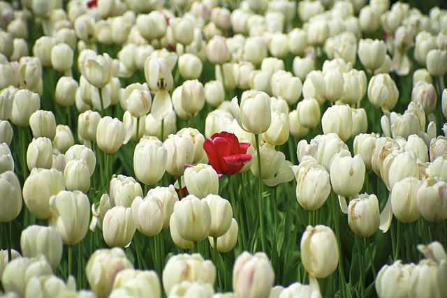 red tulip among white ones