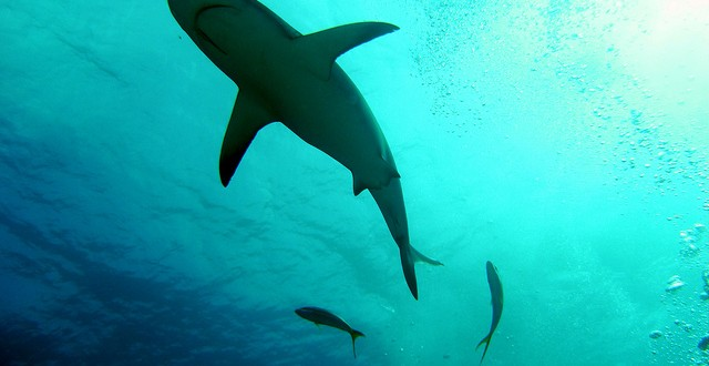 Caribbean Reef Shark from underneath