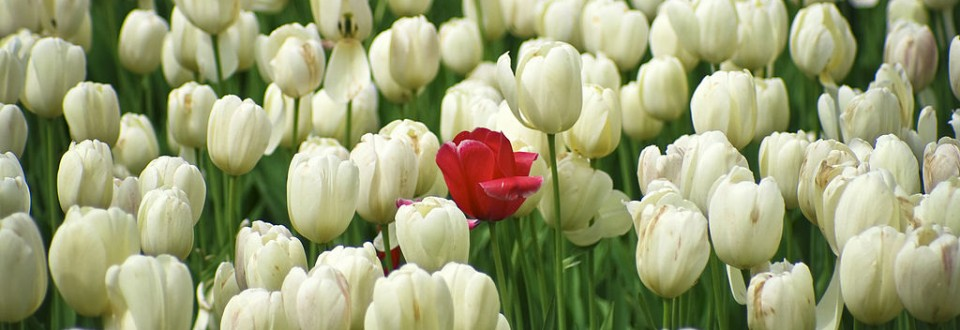 red tulip among white tulips