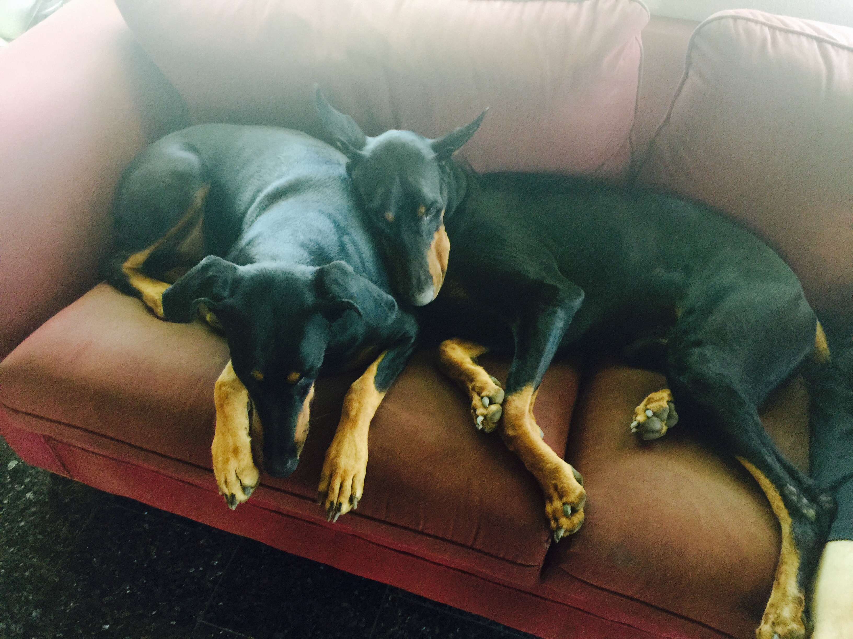 dobermans on couch