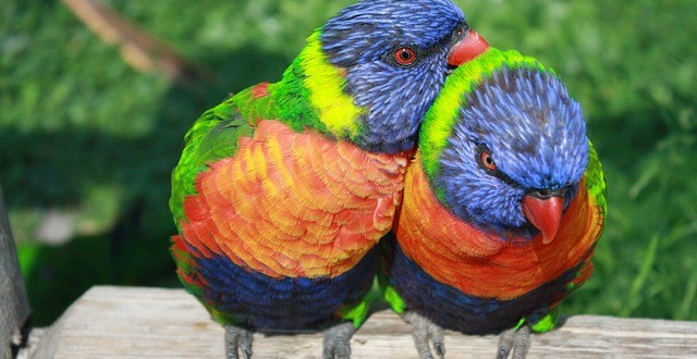 couple of rainbow lorikeet