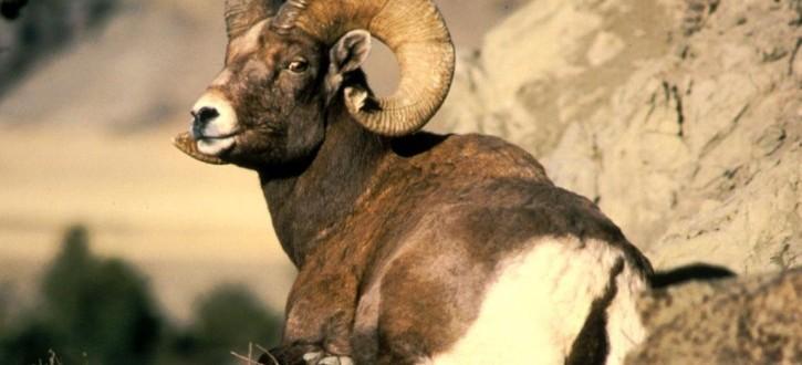 Bighorn ram animal