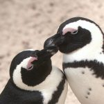 cute kissing penguins
