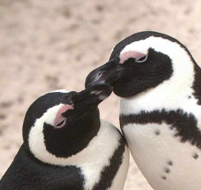 cute kissing penguins